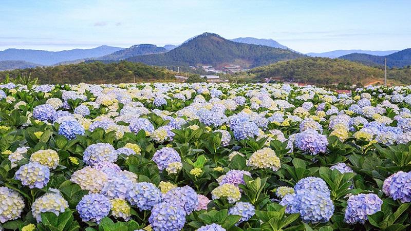 Thung lũng hoa cẩm tú cầu.