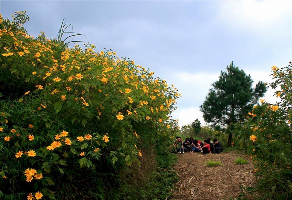 Mùa dã quỳ vàng rực Ba Vi