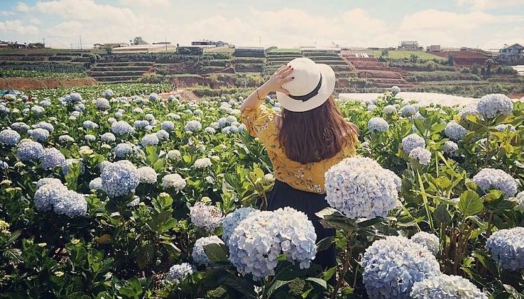 Vườn hoa cẩm tú cầu Đà Lạt.