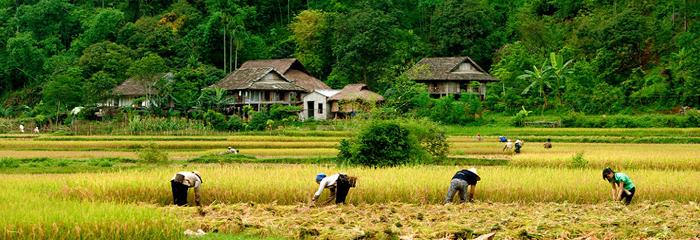 Người dân ở Mai Châu thu hoạch lúa chín.