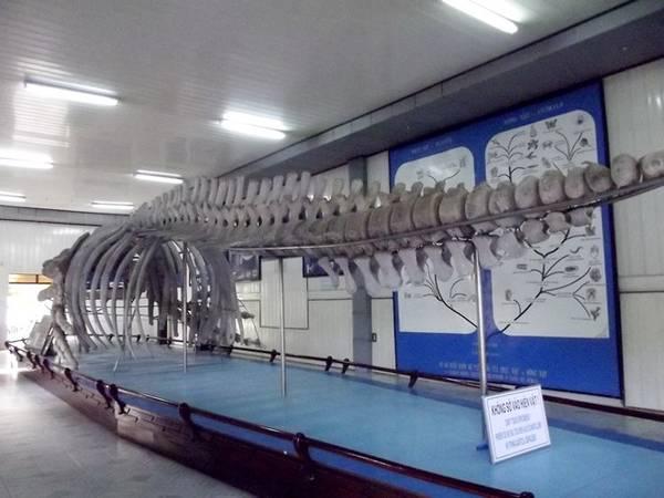 Khám phá viện Hải dương học Nha Trang: Bảo tàng sinh vật biển nằm trong khuôn viên viện sẽ đem lại cho du khách trải nghiệm tuyệt vời với 20.000 mẫu vật của hơn 4.000 loài. Đặc biệt, bảo tàng có trưng bày bộ xương cá voi khổng lồ dài gần 26m, cao 3m.