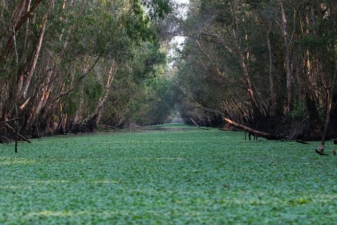 Đi thuyền trong rừng tràm Trà Sư (Châu Đốc): Cánh rừng ngập nước nguyên sơ với hệ động thực vật phong phú là điểm đến lý tưởng cho những người đam mê khám phá thiên nhiên.