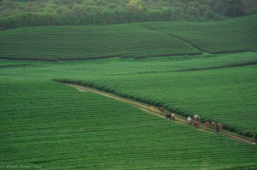 Mộc Châu là một trong những điểm đến lý tưởng cho việc ngắm cảnh