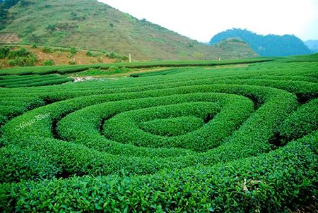Đồng cải và đồi chè xanh mướt có sức lạ kì khi đến Mộc Châu