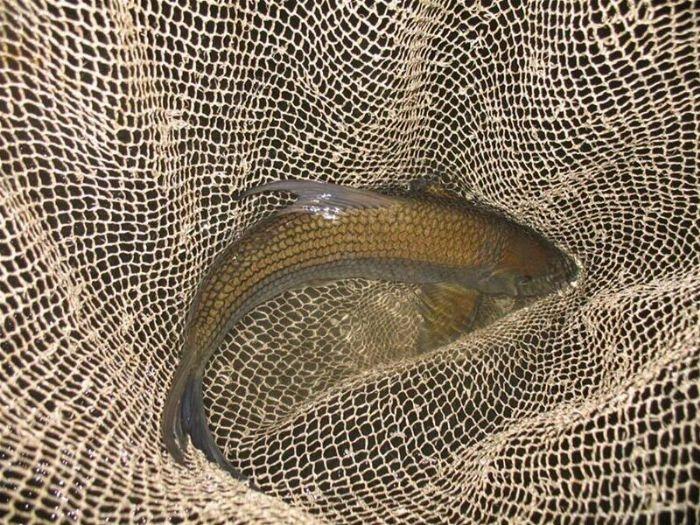Cá dầm (ảnh: nongnghiep.vn)