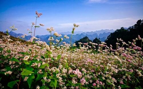 """Hoa tam giác mạch màu hồng trắng, duyên dáng là """"đặc sản"""" của Hà Giang"""