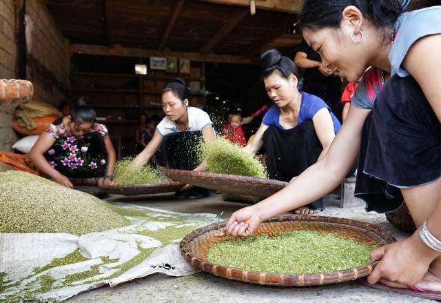 Những bông lúa nếp khi hái về sẽ được tuốt và rang ngay để giữ được hương vị thơm ngon
