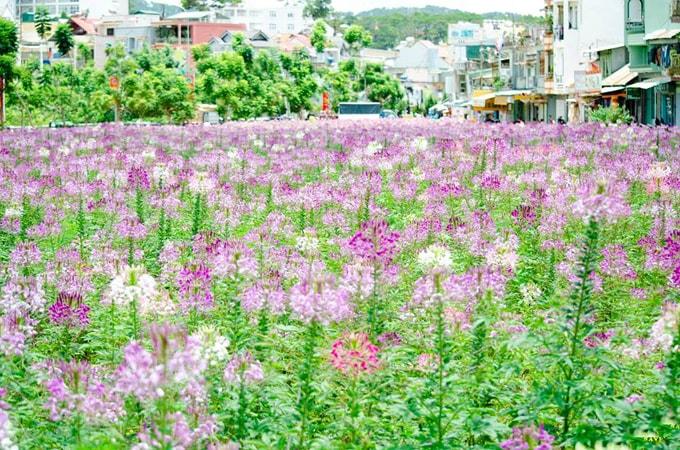 cánh đồng hoa hồng ri đà lạt-min