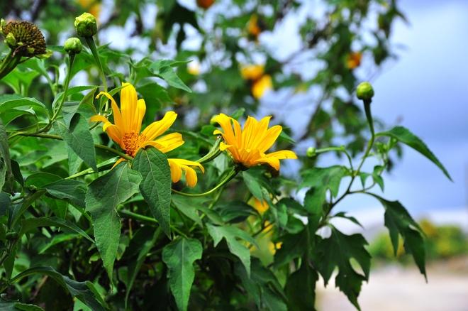 Đà Lạt trong mùa hoa dã quỳ
