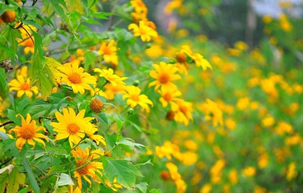 Kinh nghiệm đi phượt ngắm hoa dã quỳ cuối tuần ở Ba Vì