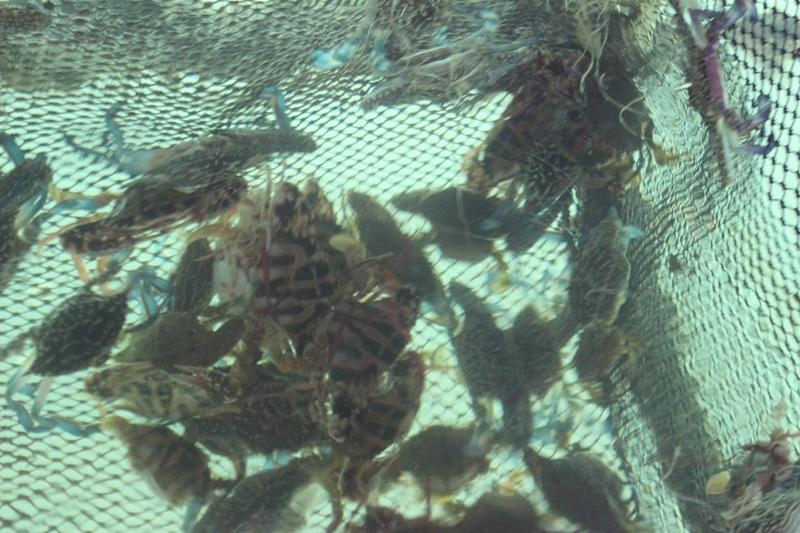 Ngoài mực nhảy tại cảng Vũng Áng còn có nhiều hải sản tươi sống khác như: Ghẹ,..