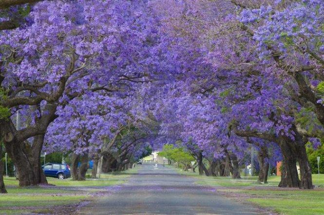 Đường hoa tím ở TP Grafton, New South Wales, Úc