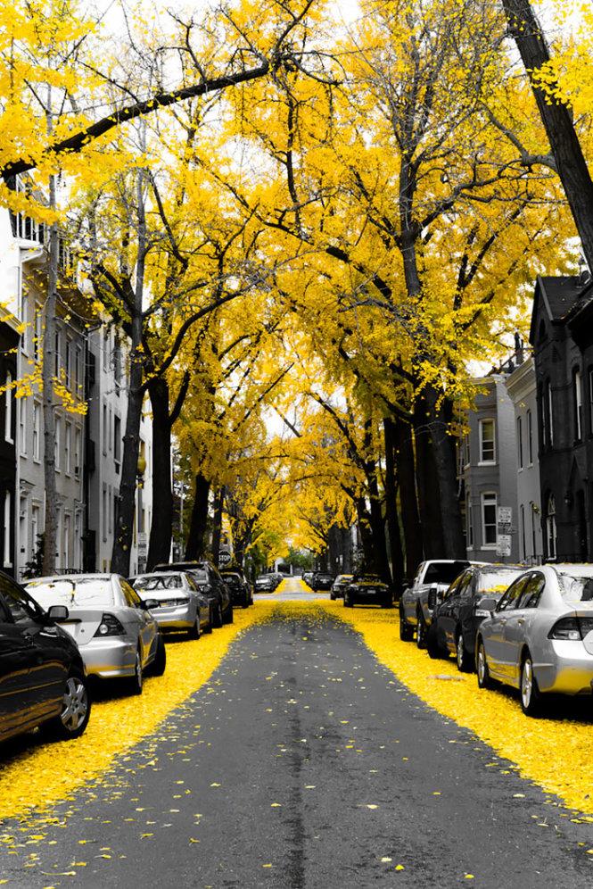 Đường hoa vàng ở Washington DC, Mỹ