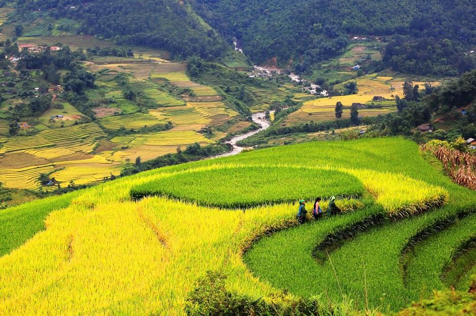 Đẹp mê hồn mùa lúa chín vàng Lào Cai