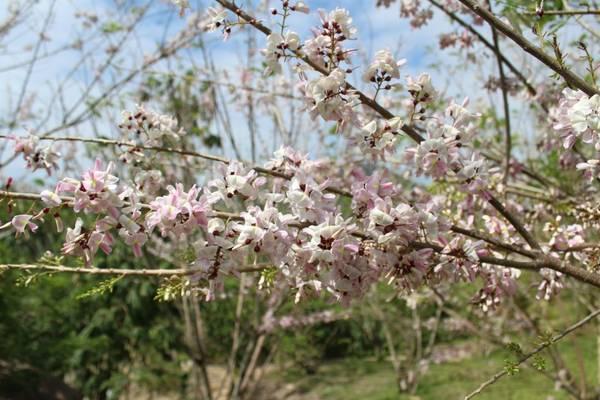 Đến suối Thạch Lâm vào mùa hoa anh đào nở, bạn sẽ được lạc vào một khu vườn rực rỡ bừng sắc đẹp đến khó cưỡng. Ảnh: FBWaterLand suối Thạch Lâm