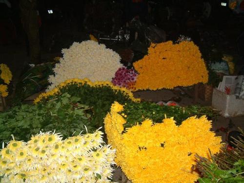 Hoa cúc vàng rực rỡ sương đêm