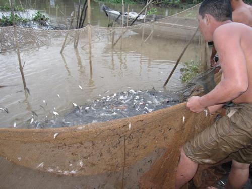 Chà cho ra ngoài xong gom lưới hẹp lại thành 1 túi cá