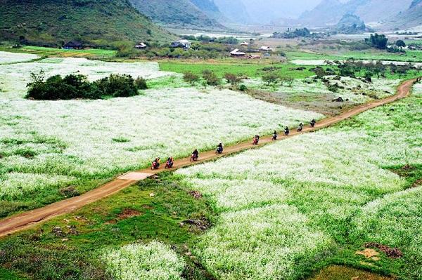 Màu trắng của hoa cải cùng với màu xanh của cỏ tạo nên một bức tranh đẹp rạng rỡ