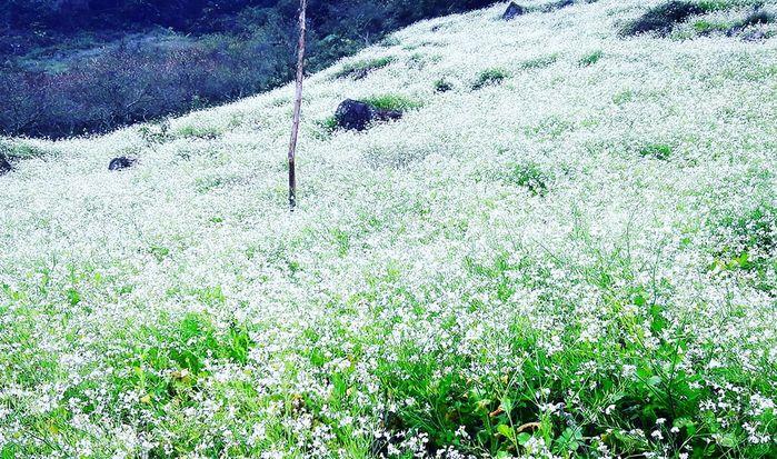 Hành trình đi săn hoa mùa cải nở trắng trời Mộc Châu