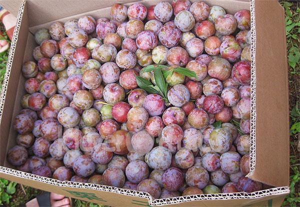Những trái mận to đỏ là đặc sản Mộc Châu