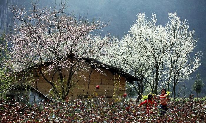 Khung cảnh Mộc Châu mùa hoa mận