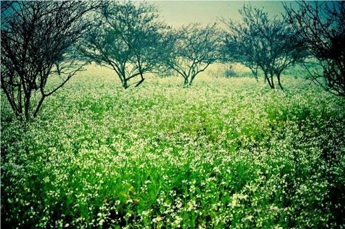 Hoa cải trắng tại khu vực rừng thông bản Áng