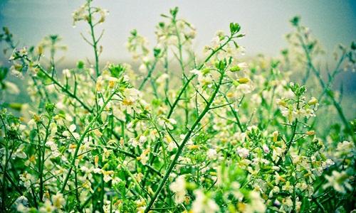Hoa cải trắng đẹp mê hồn trên cao nguyên Mộc Châu