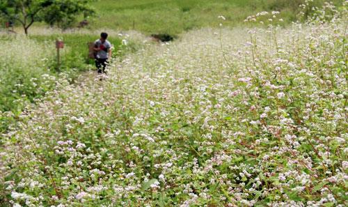 Khám phá những vùng hoa tam giác mạch đẹp nhất Việt Nam - 5