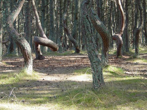 Khu rừng biết nhảy múa ở Nga