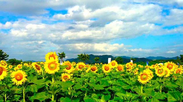 Mùa hoa hướng dương.