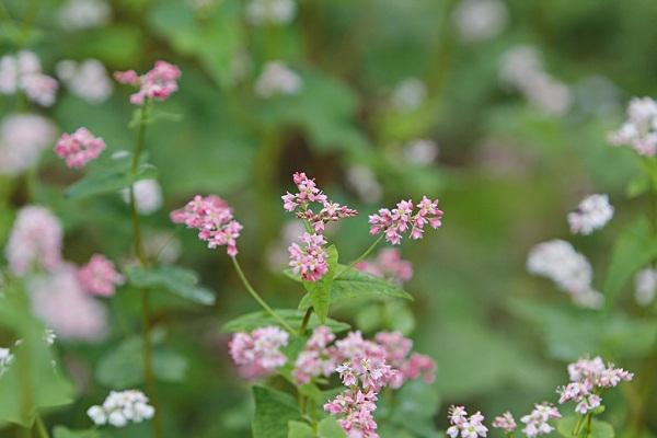 Vẻ đẹp tinh khôi của loài hoa Tây Bắc giữa cao nguyên đá Đồng Văn