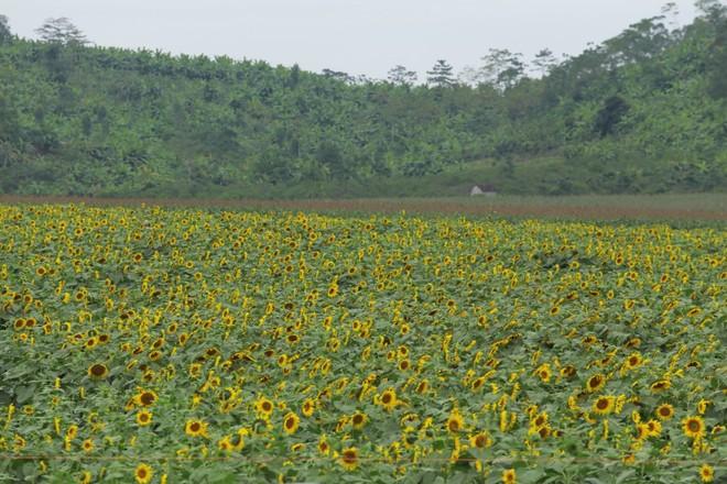 Hầu hết du khách đều ngỡ ngàng trước khung cảnh cánh đồng hoa nở bạt ngàn giữa vùng đồi núi miền trung, đẹp như một bức tranh này.