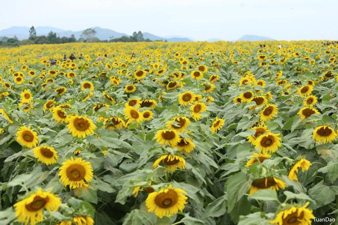 Cánh đồng hoa mặt trời giữa dải đất nhiều nắng gió là điểm tham quan du lịch mới, thu hút sự quan tâm của đông đảo cộng đồng. Tuy nhiên hãy là những bạn trẻ văn minh, không bẻ cành, hái lá, giẫm đạp lên hoa.
