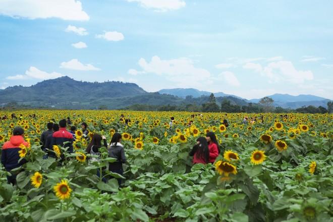 Theo những người bảo vệ ở đó cho biết, hoa được trồng khi thời tiết và đất ẩm, chỉ mất từ 55 - 60 ngày là cây sẽ ra hoa.