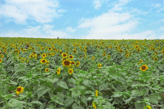 Rực vàng cánh đồng hoa hướng dương ở Nghệ An tháng 11