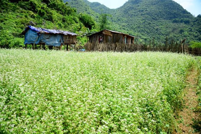 Trải qua quãng đường 170km từ Hà Nội, cuối cùng chúng tôi đã tới được cái đích là xã Trấn Yên, huyện Bắc Sơn. Tháng 4 và nửa đầu tháng 5 cũng là lúc thung lũng hoa tam giác mạch Lân Khoản, thôn Lân Gặt, xã Trấn Yên bung nở trắng tinh.