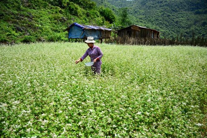 Theo anh Dương Văn Hằng - người dân ở thôn Lân Gặt, ngoài mùa hoa tam giác mạch phổ biến vào dịp tháng 10-11 như nhiều nơi khác, những năm gần đây bà con ở Trấn Yên còn trồng thêm vụ hoa xuân.