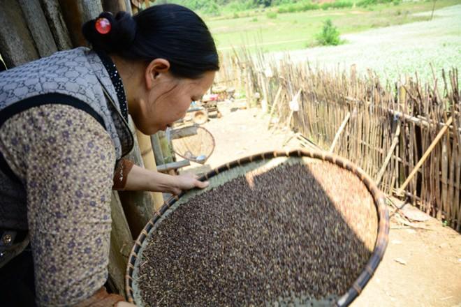 Một phụ nữ bản địa sàng hạt tam giác mạch để xay bột.