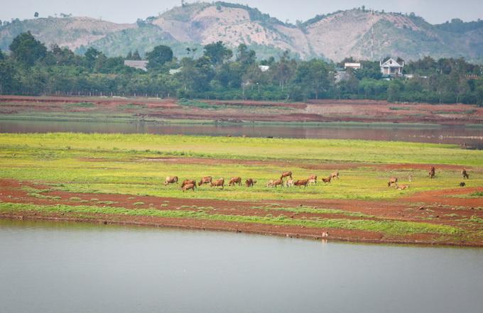 Những chú bò gặm cỏ trên những mô đất giữa lòng hồ