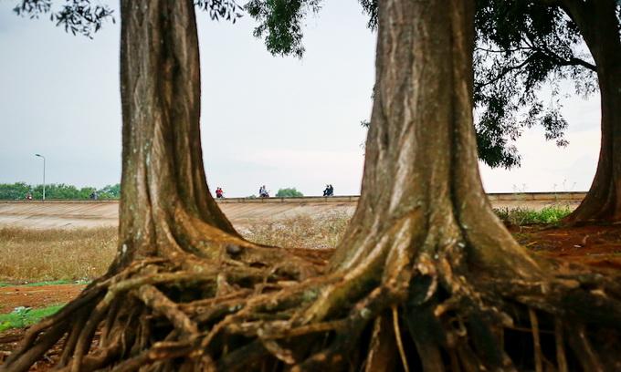 Những gốc cây cổ thụ ven hồ