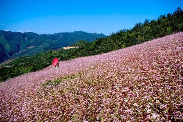 Lễ hội hoa tam giác mạch lần đầu tiên tại Hà Giang