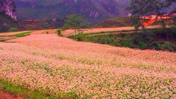 Vẻ đẹp sắc màu cánh đồng hoa tam giác mạch ở Hà Giang
