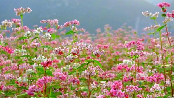 Vẻ đẹp của loài hoa tam giác mạch