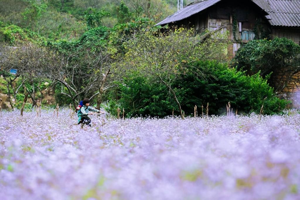 Những mùa hoa hấp dẫn phượt thủ khắp nơi