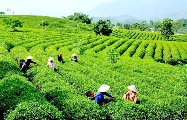 đồi chè Tuyên Quang.