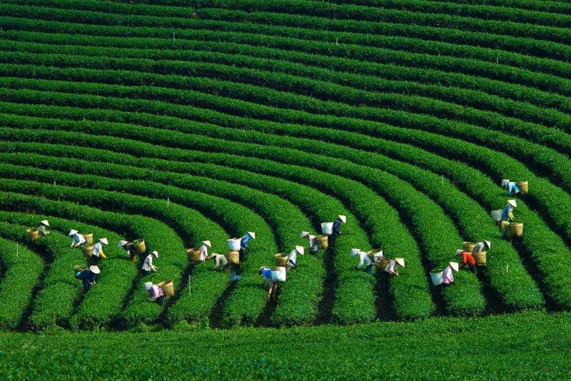 Người dân đang thu hoạch lá chè.