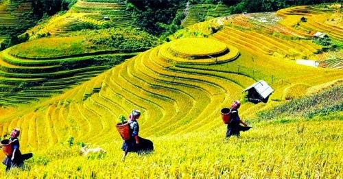 Mùa lúa chín vàng trên những thửa ruộng bậc thang Hà Giang
