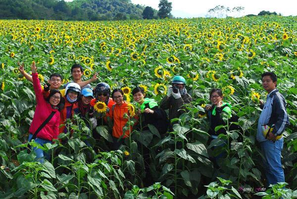 Ngỡ ngàng vẻ đẹp của cánh đồng hoa hướng dương ở Nghệ An