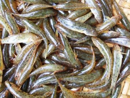 Cá bống sông Trà ngon nhất vào mùa hè.
