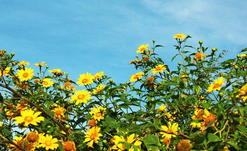 Đà Lạt, hoa dã quỳ, cung đường đẹp
